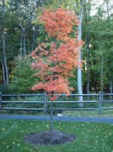 This is the maple tree I was describing!