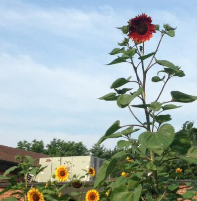 "The tallest (by several feet) sunflower in the kids' school garden unexplainably turned a bright shade of red today.  The school principal texted this pic and said ""We will call it Steve."""
