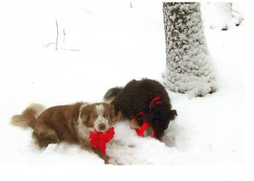 Betsy sent this picture of Sam and Maddie,  Bob's dogs, in the snow in!  They are happy and healthy!