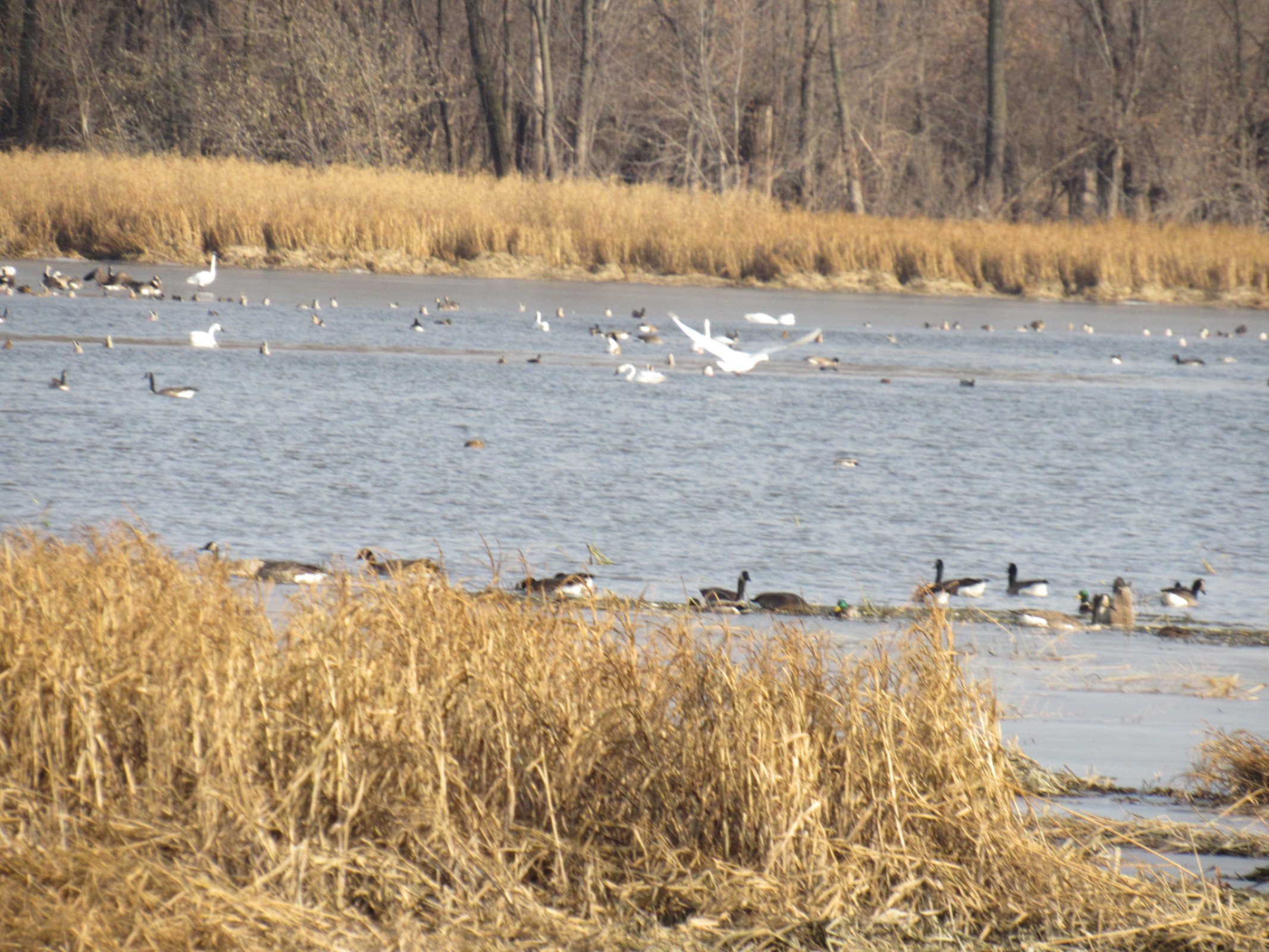 Some of my swan, duck, and geese friends at the Minnesota River this week. They settle me.