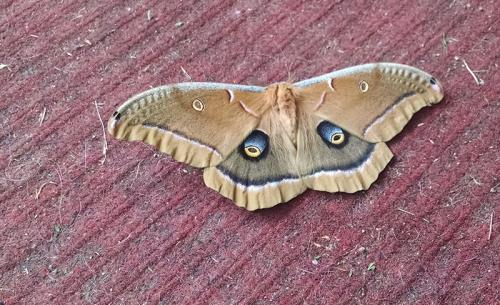 A friend on our doorstep when I came home for seeing Michael at the hospital! According to the web, Antheraea Polyphemus.