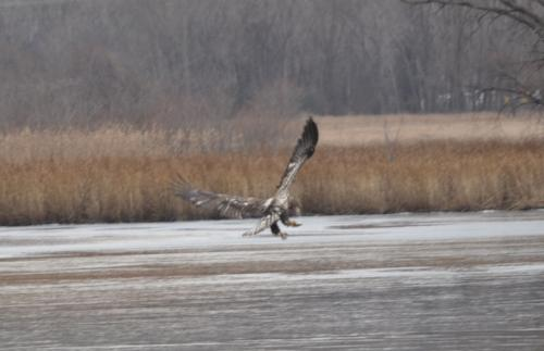 One of my young eagle friends from yesterday, going for one of my fish friends