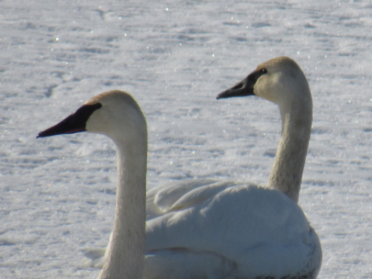 Two of my swan friends at the refuge, taken last winter