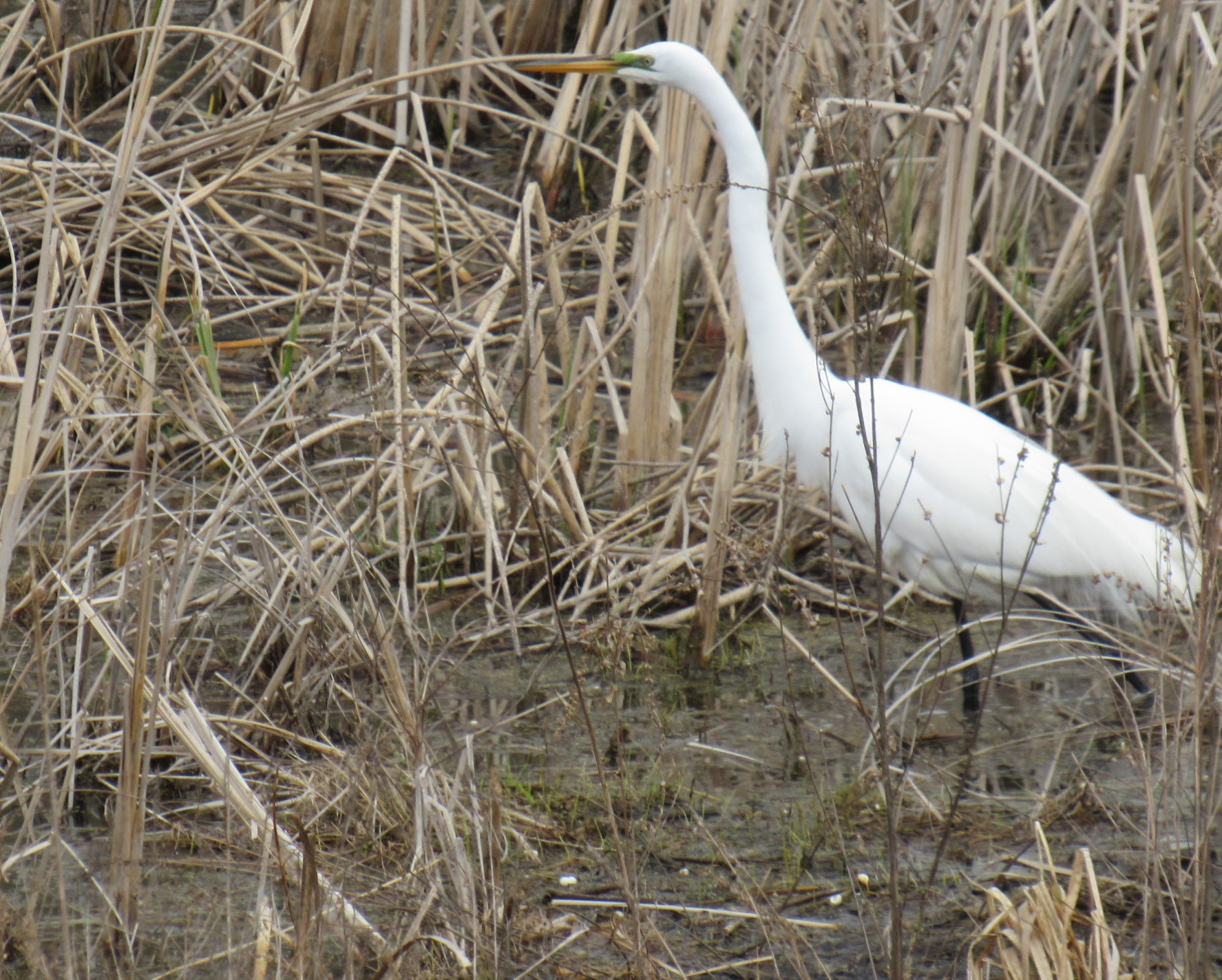 My egret friend, at Bass Ponds, Minnesota Valley wildlife Refuge